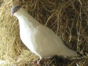 Tierschuz-Projekt-AnimalVision-Tauben